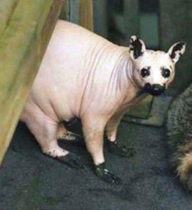 Совсем не похожи на собратьев — 10 лысых животных, которые готовы вас удивить