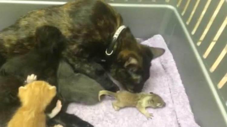 Кошка вырастила бельчонка вместе со своими котятами