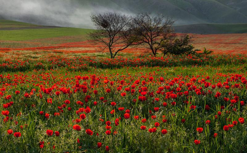 10. Цветение мака скоротечно — его можно наблюдать только две-три недели art, Кыргызстан, пейзаж, ссср, факты
