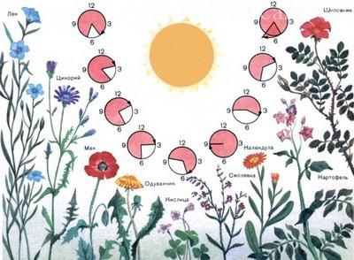 Биоритмы цветов