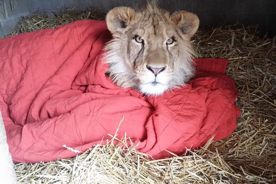 В американском зоопарке лев не может уснуть без своего одеяла