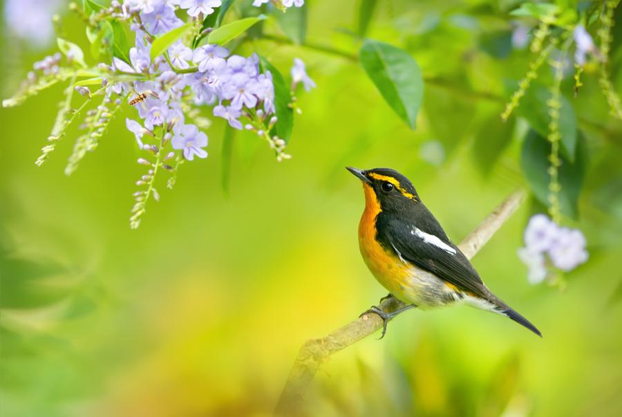 ~ Narcissus Flycatcher ~, автор — FuYi Chen на 500px.com