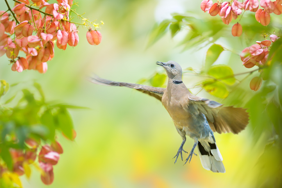 ~ Red Turtle Dove in Flying ~, автор — FuYi Chen на 500px.com
