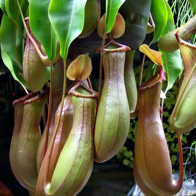 Непентес: выращивание хищного растения в домашних условиях