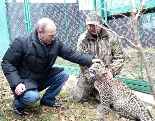 Браконьеры и нехватка денег могут сорвать проект по возвращению леопардов на Кавказ