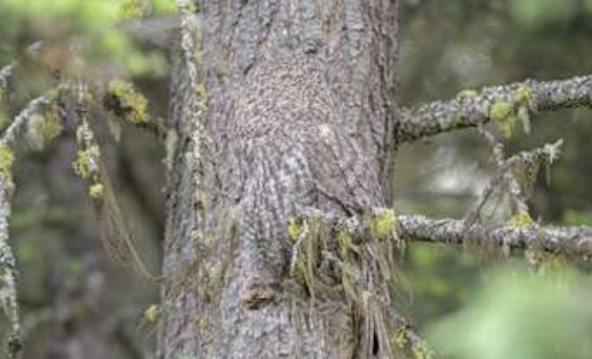 Найдите на фото сову: природный камуфляж в действии