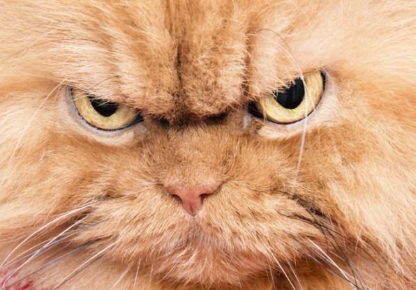Типы агрессии у кошек