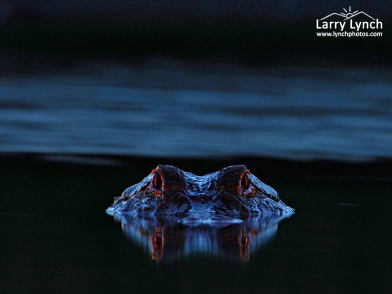 Парень сделал снимок ночного болота и увидел,что был там не один животные, крокодилы, природа, фото