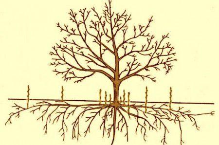 Самый интересующий вопрос садоводов как бороться с порослью вишни