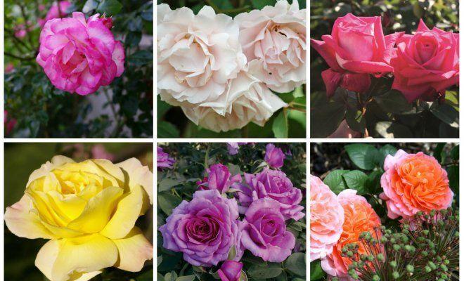 : Питомник роза