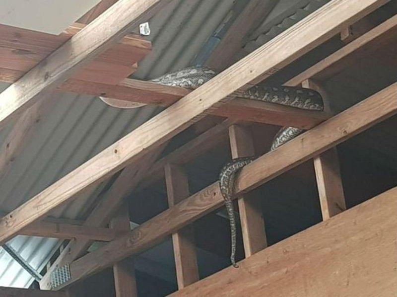 Австралиец случайно приютил огромного питона - пока не понял, что у змея далеко не добрые планы австралия, дикие животные, животные, змеи, истории, неожиданно, питон, рептилии