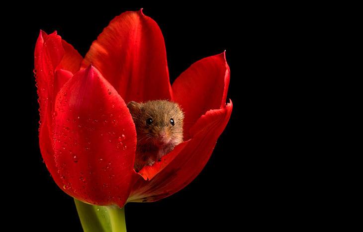 Необычные кадры: мыши в тюльпанах