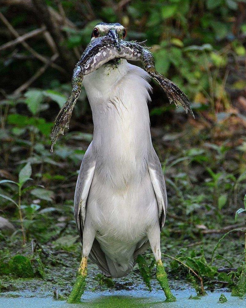 Уникальные кадры поедания цаплей здоровенной лягушки в мире, естественный отбор, животные, лягушка, поедание, цапля