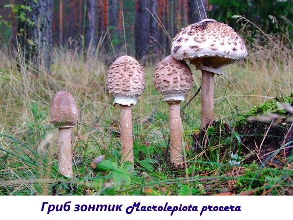 Съедобный и несъедобный гриб зонтик