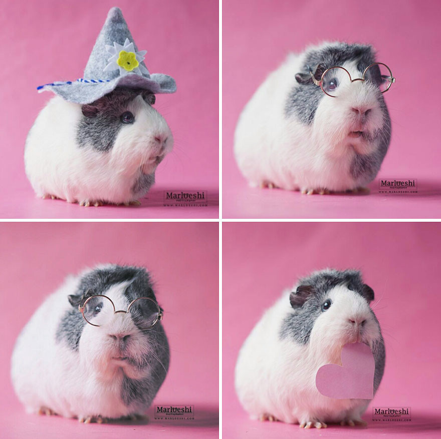Знакомьтесь, невероятно фотогеничная морская свинка по кличке Мипс