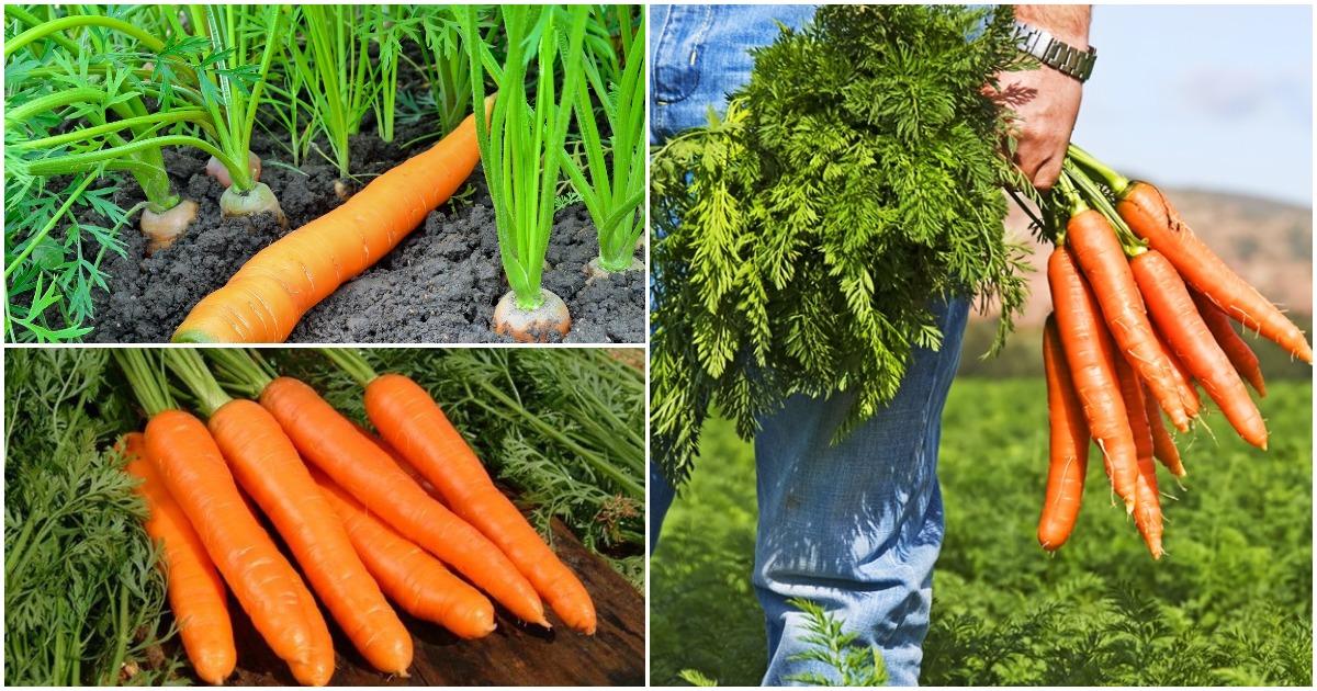 Секретный метод выращивания моркови: урожай гарантирован