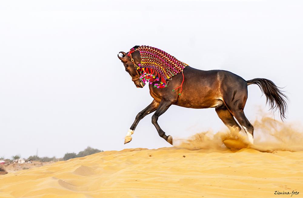 том, марвари фото коней фотография