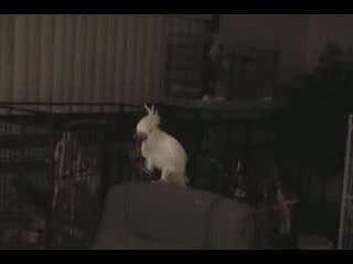 Попугай танцует. Видео из интернета. Смотреть со звуком обязательно!