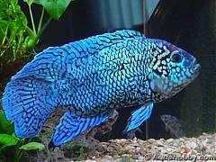 Blue dempsey взрослая особь