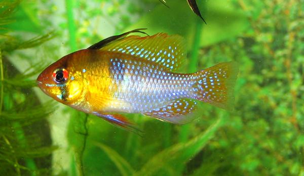 Папилиохромис глазчатоспинный, папилиохромис оливковый, хромис-бабочка боливийская (Papiliochromis altispinosa)