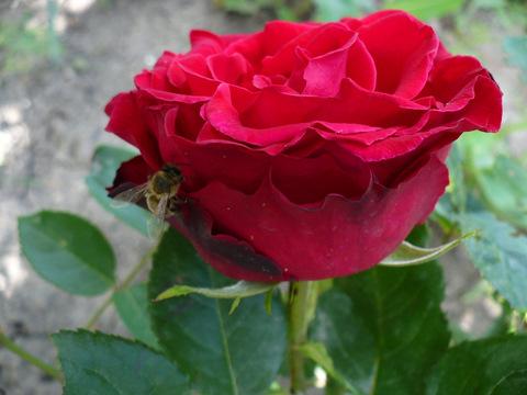 Роза с пчёлкой