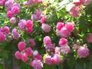 Roses in my garden,  (розы в моем дворе)