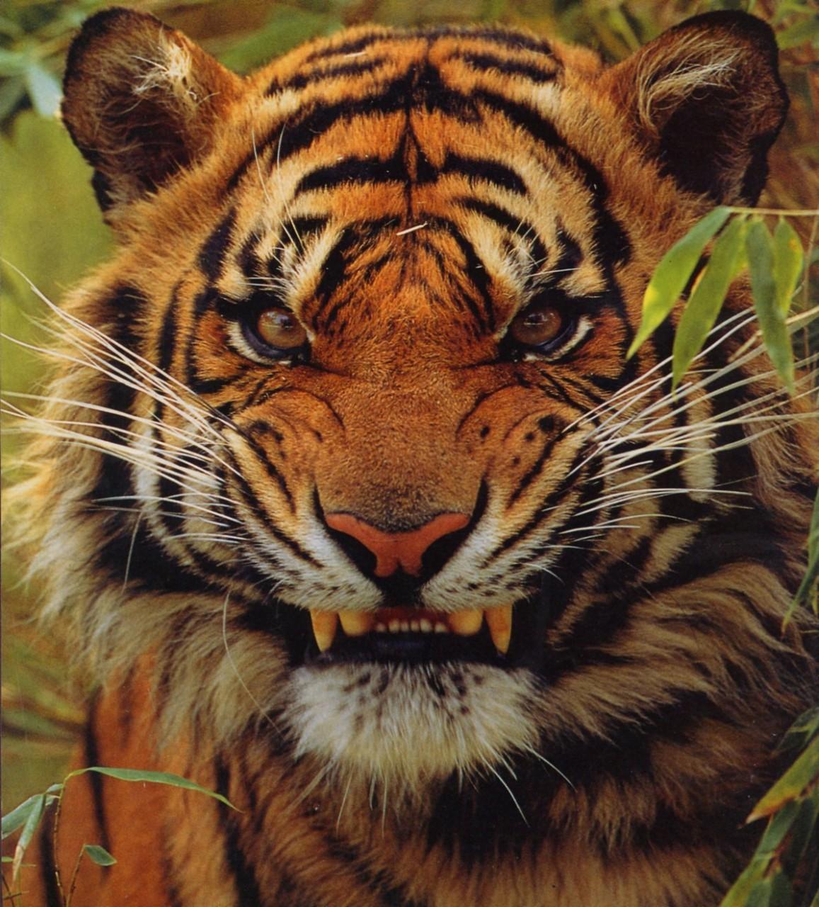 Смешные картинки с тиграми и запашными с надписями, для спящей красавицы