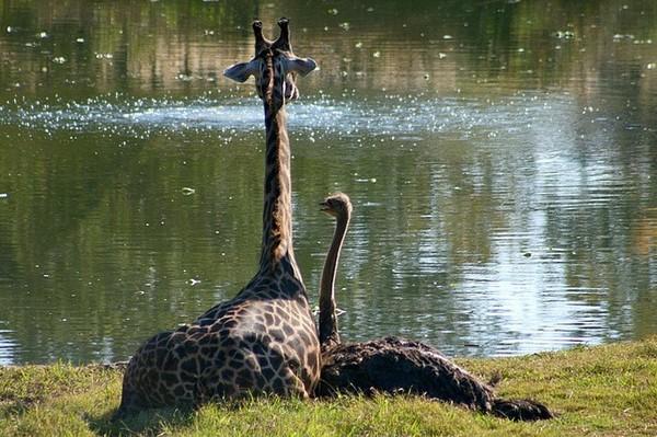 любовь страуса и жирафа