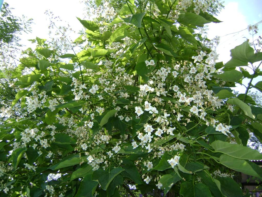 адамово дерево фото комнатное растение открытая прокладка внутри