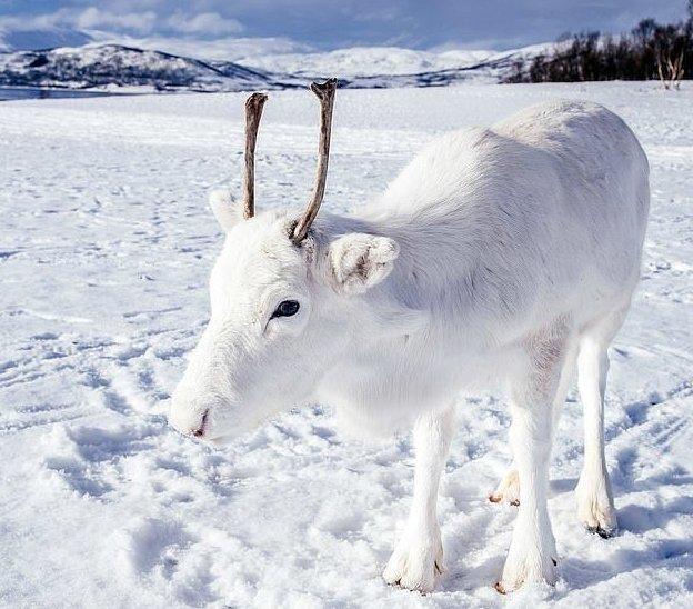 Детенышу всего несколько месяцев, поскольку потомство северных оленей появляется на свет в мае животные, норвегия, окрас, олененок, олень, фотография