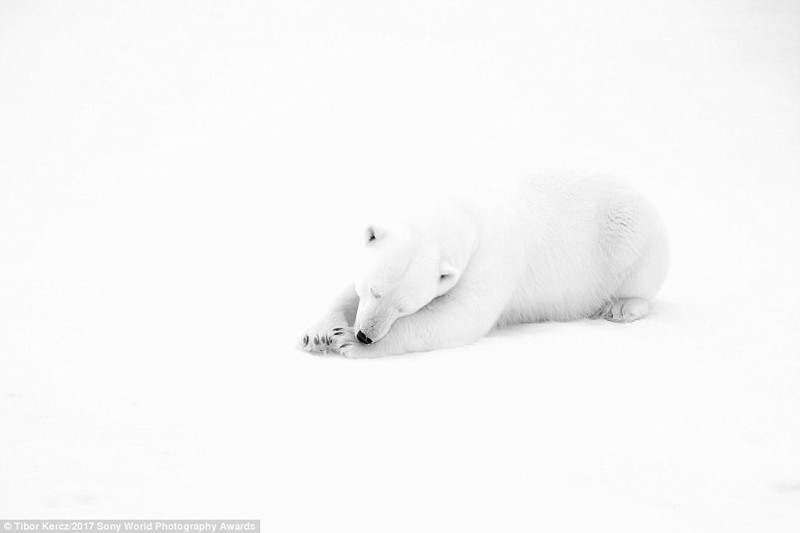 Белое на белом: самец белого медведя, заснувший в снегу искусство, конкурс, красота, фото