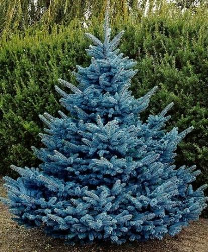 Как вырастить голубую ель из шишки?