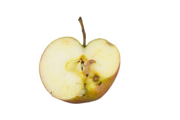 Ловушки для яблонной плодожорки