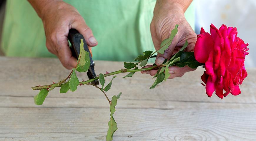 Как вырастить розу из букета: можно ли укоренить подаренный букет?