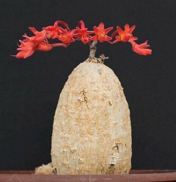"""Moringa tubiflora """"голые"""", интересное, красота, природа, растения, факты"""