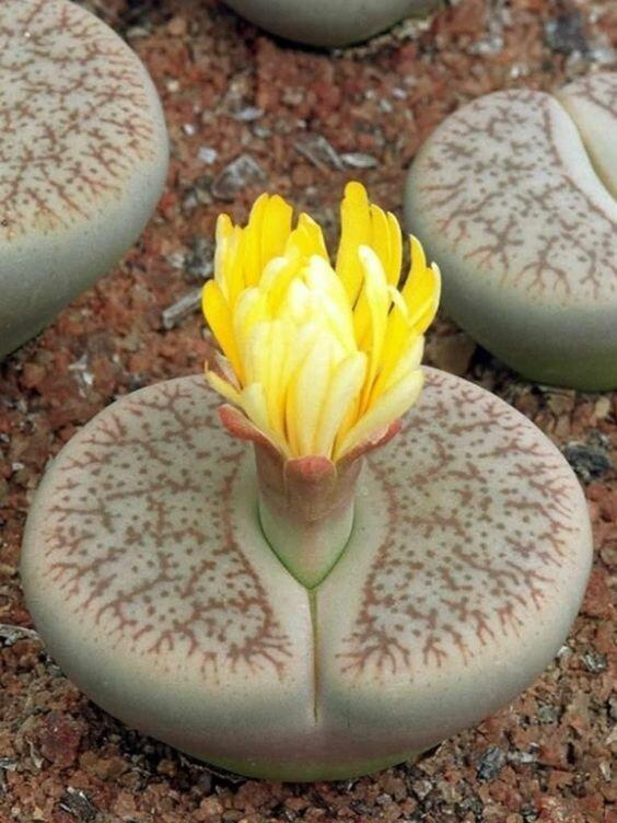 """Цветущие """"камни"""" Литопсы """"голые"""", интересное, красота, природа, растения, факты"""