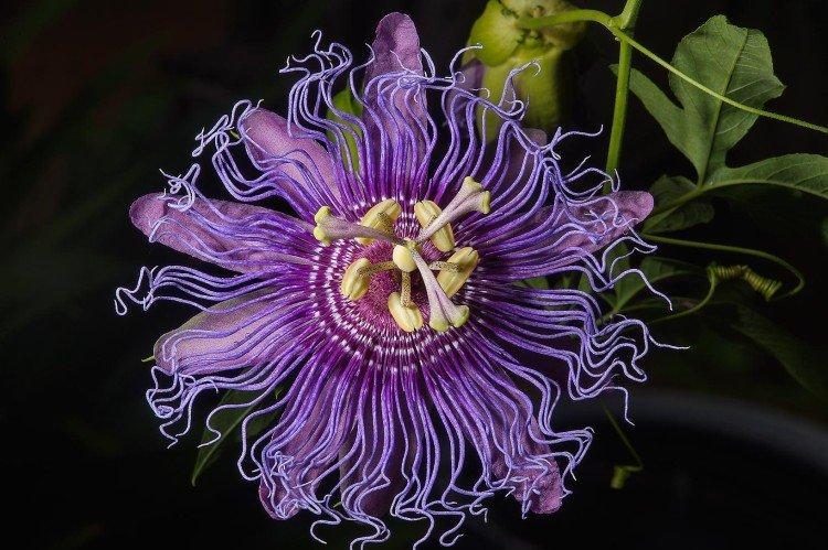 Фиолетовые цветы: названия, фото и описания дача,сад и огород,цветоводство
