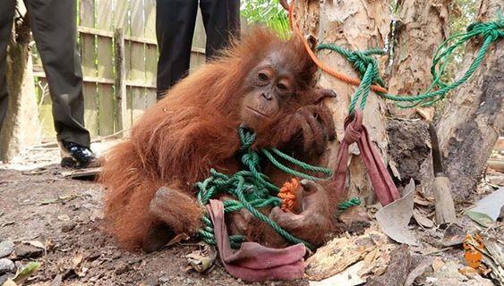История спасения орангутана, которого привязали к дереву