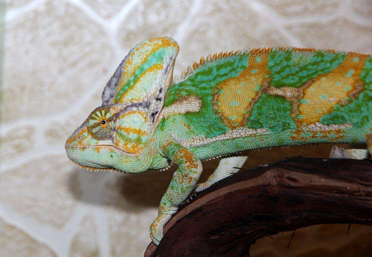Йеменский хамелеон. Экзотика в доме: как ухаживать за хамелеоном? Картинка с сайта https://pixabay.com/