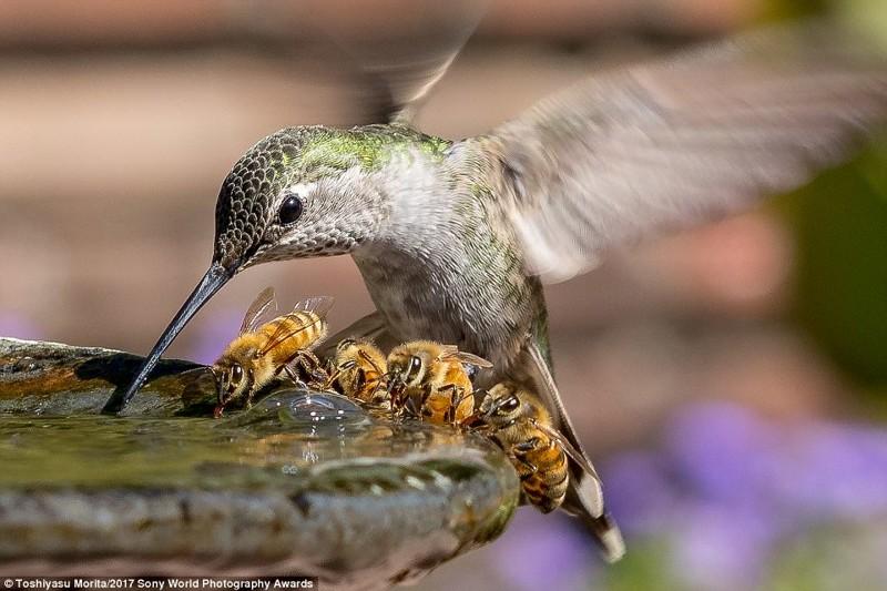 Водяное перемирие. Колибри и пчелы пьют из фонтанчика в жаркий день в Калифорнии искусство, конкурс, красота, фото