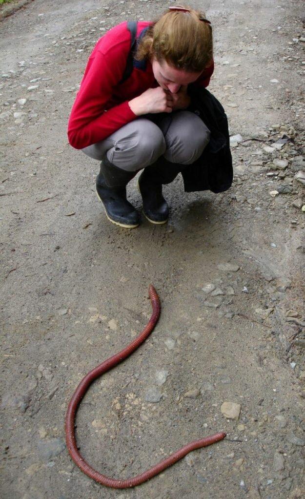 Австралийский червь, который может вырасти до 3м!