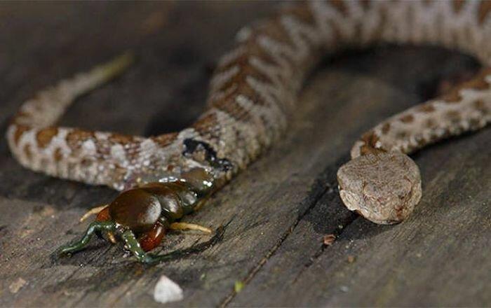 Сколопендра, прогрызшая съевшую ее змею изнутри бывает же такое, животные, интересное, природа, растения, ужасы