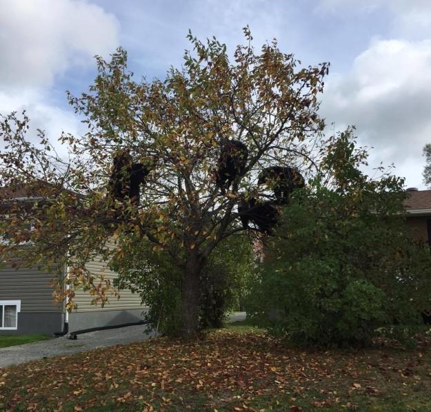 Осень в саду: медведи прилетели...