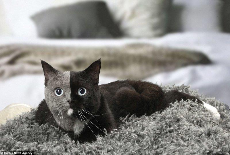 """Подобные случаи редки, но известны науке. Такие кошки известны как """"химеры"""", и их необычный окрас - результат слияния двух или более оплодотворенных яйцеклеток или эмбрионов на ранней стадии беременности в утробе матери. в мире, животные, коты, кошка, окрас кошек, уникально, фото, шерсть"""