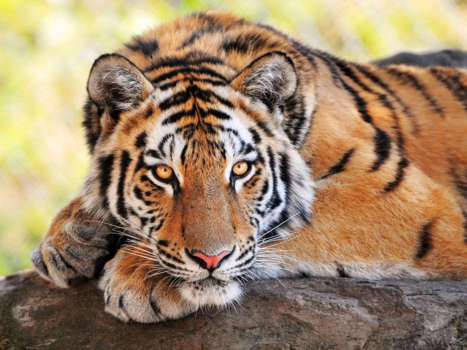 Благодарная тигрица