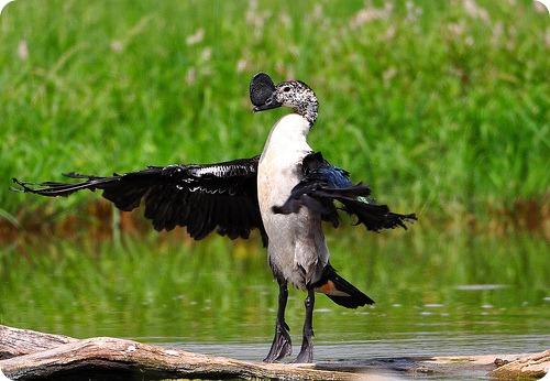 Гребенчатая утка