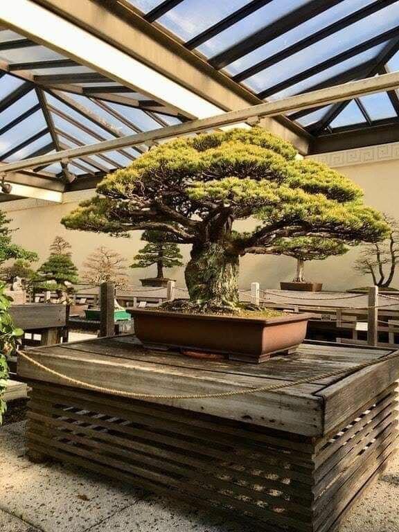 4. Бонсаи Их нравы, интересно, традиции, фото, япония