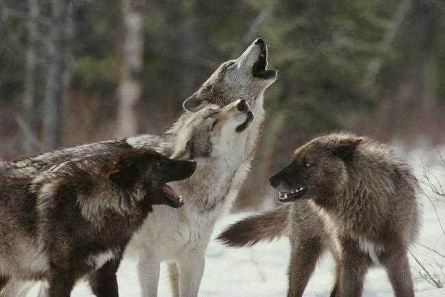 Без хищников в животном мире…