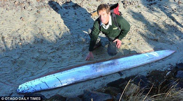 На берегу Новой Зеландии нашли сельдяного короля