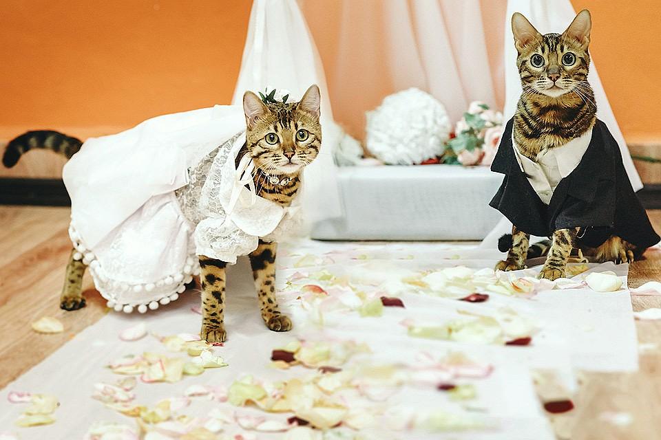 всех коты жених и невеста картинка них